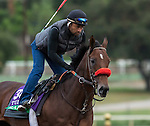 ARCADIA, CA - OCT 31: Ralis, owned by Reddam Racing, LLC and trained by Doug F. O'Neill, exercises in preparation for the Breeders' Cup Longines Turf at Santa Anita Park on October 31, 2016 in Arcadia, California. (Photo by Casey Phillips/Eclipse Sportswire/Breeders Cup)