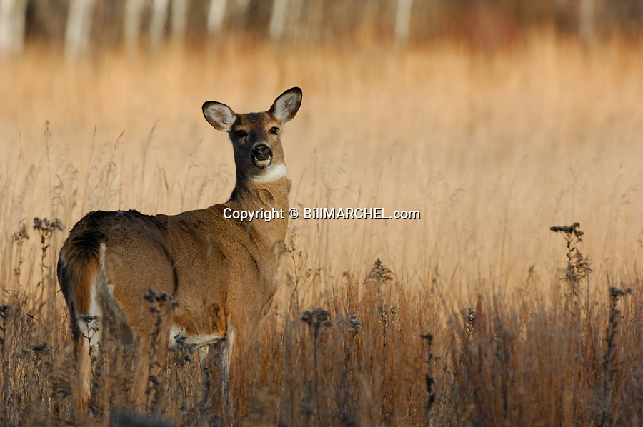 00275-196.14 White-tailed Deer (DIGITAL) doe pauses while feeding on goldenrod in prairie during fall.  Hunting, food, whitetail.  H4R1