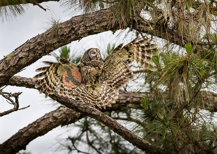 Barred Owl landing in a tree with feet out in front