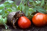 1R42-010x  Eastern Box Turtle - preparing to eat tomato in garden - Terrapene carolina