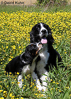 0730-0822  Puppy and Adult English Springer Spaniels, Canis lupus familiaris © David Kuhn/Dwight Kuhn Photography.