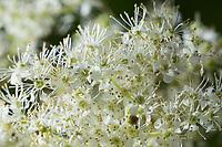 Echtes Mädesüß, Mädesüß, Mädesüss, Blüten, Filipendula ulmaria, Meadow Sweet, Quenn of the Meadow, Reine des prés