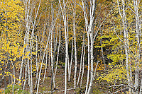 Stand of autumn birch trees, Acadia NP, Maine, ME