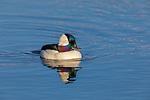 Drake bufflehead resting on a northern Wisconsin lake.