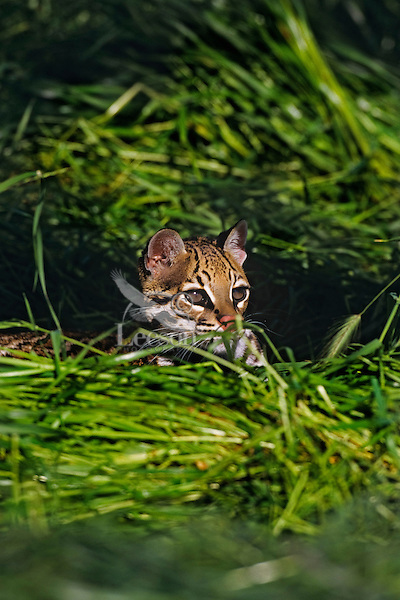 Ocelot (Leopardus pardalis) Central America