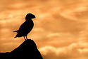 Atlantic puffin (Fratercula arctica) silhouetted at sunset, Isle of Lunga, Treshnish Isles, Scotland, June.