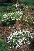 Early spring garden: clumps of flowering hellebores, anemones, Epimedium