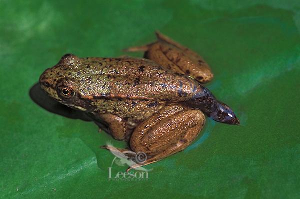 GREEN FROG with tail not yet absorbed into body..Summer. Nova Scotia, Canada..(Rana clamitans melanota).