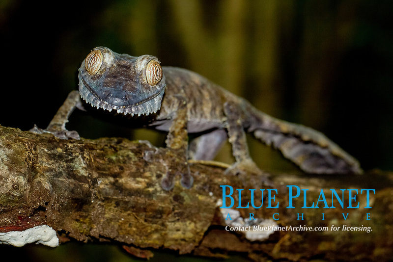 Common Flat-tail Gecko (Uroplatus fimbriatus), Nosy Mangabe, northeastern Madagascar, Madagascar, Africa