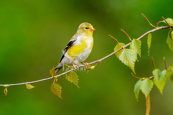 Immature Male American Goldfinch (Carduelis tristis). Great Lakes region. Spring.