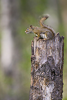 Red Squirrel sitting on top of a snag