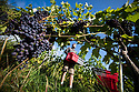 """07/09/18<br /> <br /> ***With Video***<br /> <br /> Connor Bradley.<br /> <br /> Grape picking starts at Amber Valley Wines in Wessington, Derbyshire. Managing Director, Barry Lewis, said: """"The hot summer means that yields from the vineyard are expected to be three times better than normal, reflecting a UK-wide harvest that is likely to be the best since the second world war"""".<br /> <br /> <br /> All Rights Reserved: F Stop Press Ltd. +44(0)1335 344240  www.fstoppress.com www.rkpphotography.co.uk"""