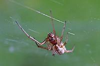 Baldachinspinne, Baldachin-Spinne, Frontinellina frutetorum, Frontinella frutetorum, Linyphia frutetorum, Linyphiidae, Baldachinspinnen