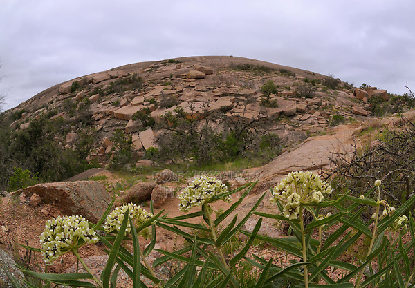 Antelope horn (Asclepias asperula), Enchanted Rock State Natural Area, Hill Country, Central Texas, USA