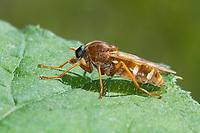 Stinkfliege, Käserfliege, Weibchen, Coenomyia ferruginea, female, Stinkfliegen, Coenomyidae