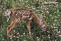 MA11-077z  White-tailed Deer - fawn - Odocoileus virginianus