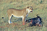 Lioness Feeding On Wildebeest