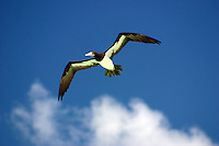 Brown Booby on Michaelmas CayCairns, North Queensland