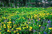 Tom Mackie, LANDSCAPES, LANDSCHAFTEN, PAISAJES, photos,+America, American, Colorado, Crested Butte, North America, Tom Mackie, USA, atmosphere, atmospheric, beautiful, dramatic outd+oors, flower, flowers, green, horizontal, horizontals, landscape, landscapes, larkspur, mules ear sunflower, natural landscap+e, sunburst, wildflower, wildflowers, yellow,America, American, Colorado, Crested Butte, North America, Tom Mackie, USA, atmo+sphere, atmospheric, beautiful, dramatic outdoors, flower, flowers, green, horizontal, horizontals, landscape, landscapes, la+,GBTM190210-1,#l#, EVERYDAY
