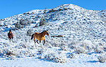 Horses frisky, running in the snow, Central Montana