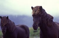 ISLANDA: ritratto di due cavalli islandesi liberi in natura.
