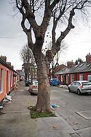 Mature Sycamore tree on a Dublin Street, Ireland.