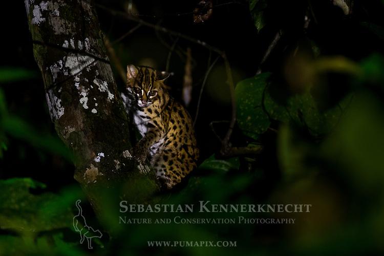 Sunda Leopard Cat (Prionailurus javanensis) in tree at night, Deramakot Forest Reserve, Sabah, Borneo, Malaysia