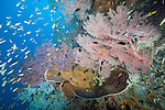 Misool, Raja Ampat, Indonesia; Sagof area, an aggregation of Violet Demoiselle, Damsel and Anthias fish swimming amongst large, pink sea fans