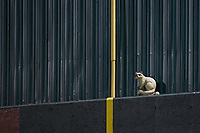 A fake raccoon sits on the wall in foul territory during the Appalachian League playoff game between the Burlington Royals and the Pulaski Yankees at Calfee Park on September 1, 2019 in Pulaski, Virginia. The Royals defeated the Yankees 5-4 in 17 innings. (Brian Westerholt/Four Seam Images)