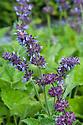 Salvia napifolia, early July. Native to Turkey.