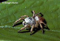SI15-002z  Jumping Spider - Phidippus sp.