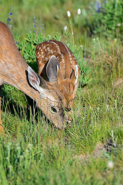 Columbian black-tailed deer (Odocoileus hemionus columbianus) fawn nuzzles doe (mom) who is grazing in subalpine meadow.  Pacific Northwest.  Summer.