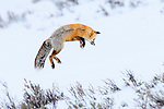 Adult red fox (Vulpes vulpes) hunting for rodents - 'snow diving' - in deep snow. Hayden Valley, Yellowstone, USA. January