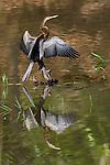 Oriental Darter or Indian Darter (Anhinga melanogaster) drying its wings. Bandhavgarh National Park, Madhya Pradesh, India.