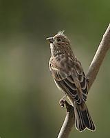 House Finch juvenile in an upward glance.