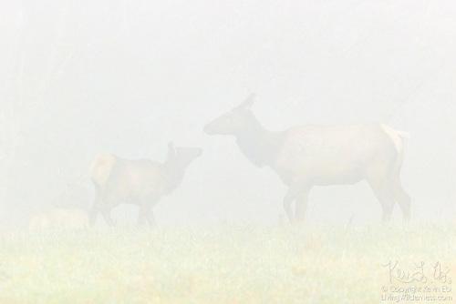 Elk Family in Fog, Snoqualmie, Washington