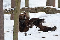 Braunbär wälzt sich im Schnee, Winter, Braun-Bär, Bär, Ursus arctos, brown bear
