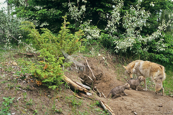 Coyote mother at den with young pups.  Western U.S.
