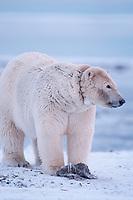 polar bear with tracking collar, Ursus maritimus, 1002 Arctic Coastal Plain of the Arctic National Wildlife Refuge, Alaska ( Arctic ), polar bear, Ursus maritimus