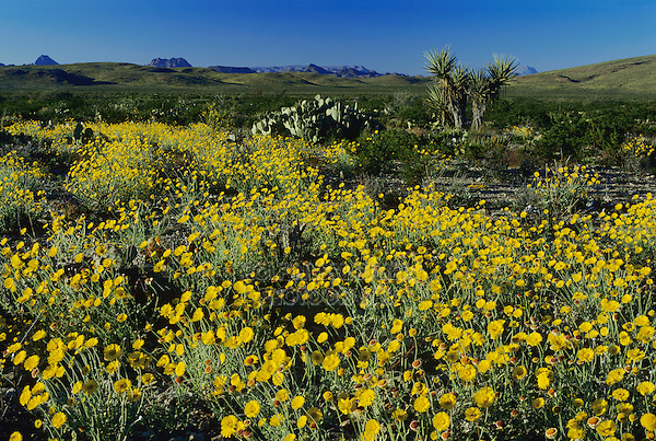 Desert Marigold, Baileya multiradiata, blooming, Big Bend National Park,Texas, USA