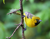 First-summer male orchard oriole