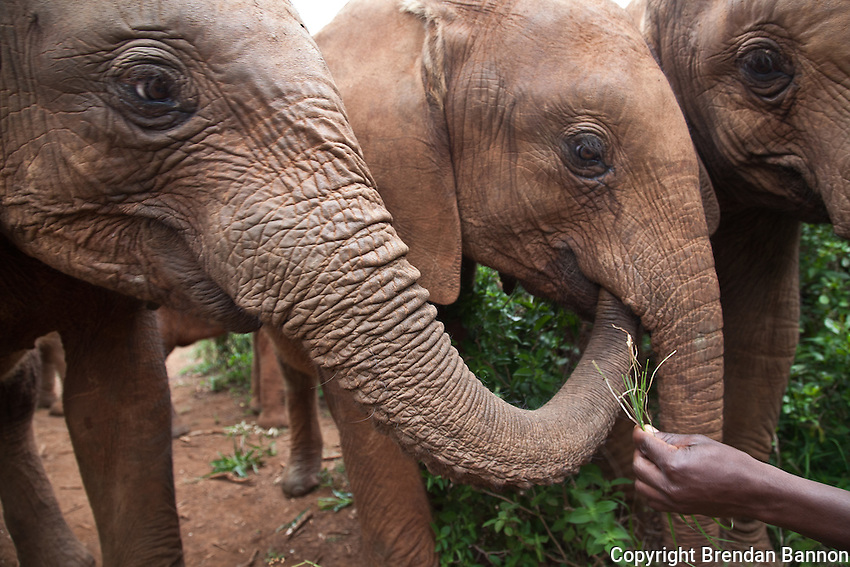 A Keeper, feeds grass to some of the 18 orphaned baby elephants at the David Sheldrick Wildlife Trust in Nairobi National Park.