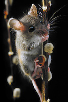 Deer Mouse ((Peromyscus maniculatus).  The deer mouse is almost completely widespread throughout North America. It can be found from Mexico to Northern Canada.