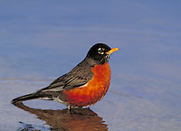 American Robin. Canada Ontario, Pt.Pelee National Park.