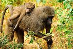 A Baboon piggyback in Africa