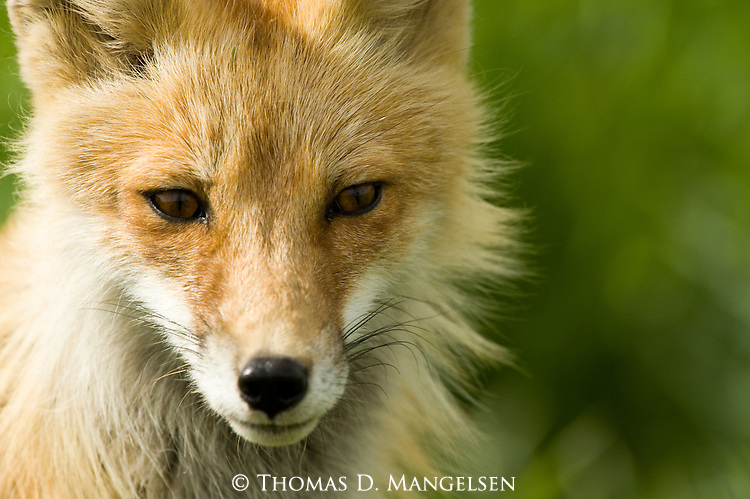 Portrait of a mother red fox in Wyoming.