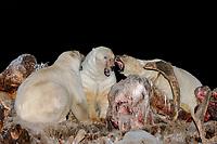 polar bear, Ursus maritimus, scavenging a bowhead whale, Balaena mysticetus, carcass and fighting at night, 1002 coastal plain of the Arctic National Wildlife Refuge, Alaska, polar bear, Ursus maritimus