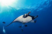 scuba divers and giant oceanic manta ray, Mobula birostris, formerly Manta birostris, San Benedicto, Revillagigedo (Socorro) Islands, Mexico, East Pacific Ocean