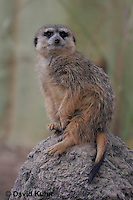 0215-08ss  Standing Meerkat on Lookout, Suricata suricatta © David Kuhn/Dwight Kuhn Photography