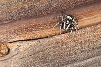 Zebra-Springspinne, Zebraspringspinne, Zebraspinne, Springspinne, Harlekinspringspinne, Harlekin-Springspinne, Männchen, Salticus scenicus, zebra jumper, male, Springspinnen, Salticidae, jumping spider, jumping spiders